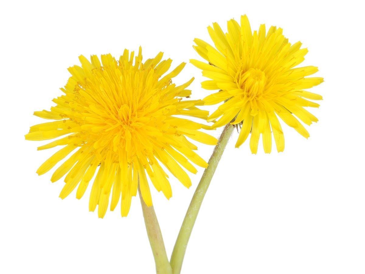 natural diuretic herb
