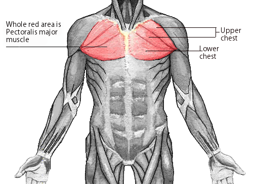 Chest exercises muscle